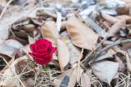 stock-photo-55572812-rose-in-the-waste-pile